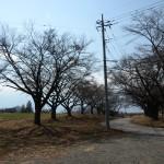 蕪の桜並木。
